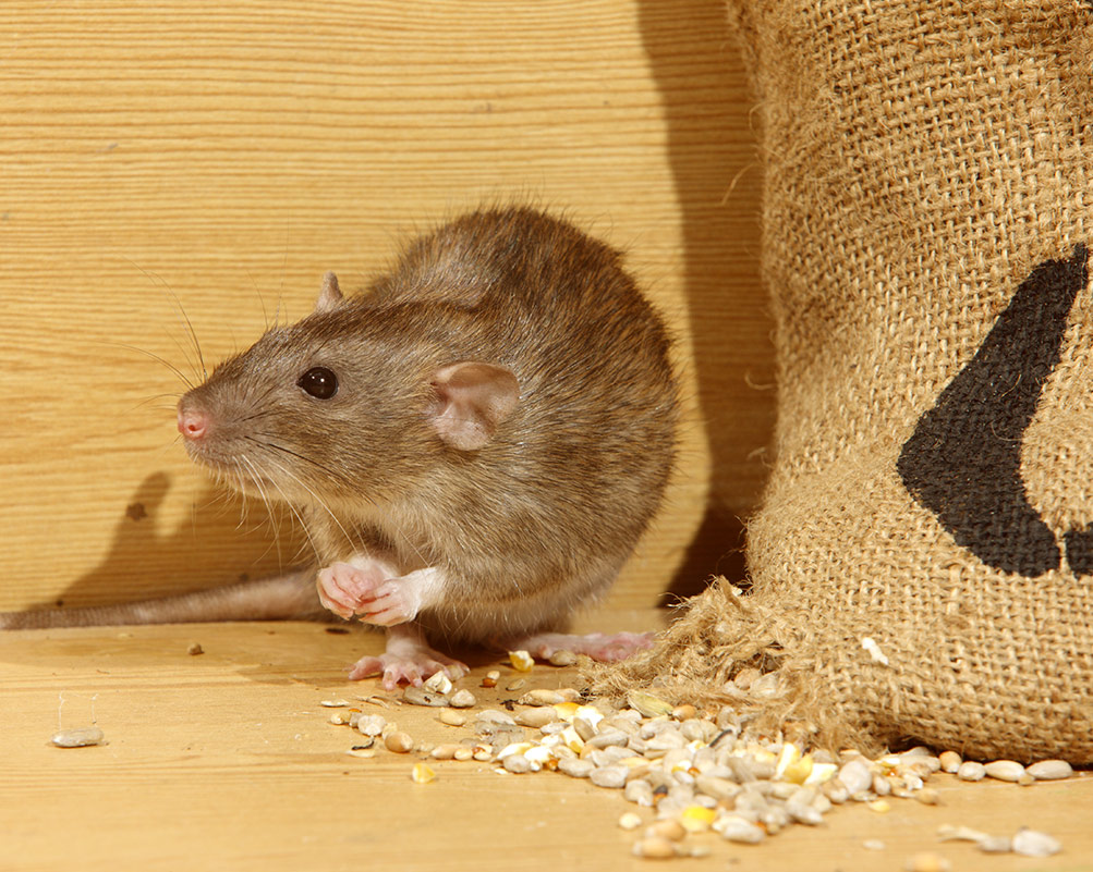 Extermination-Rats-et-Rongeurs