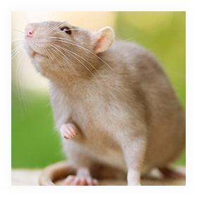 Extermination Rats