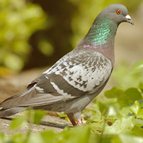 pigeon-page-servicejpg