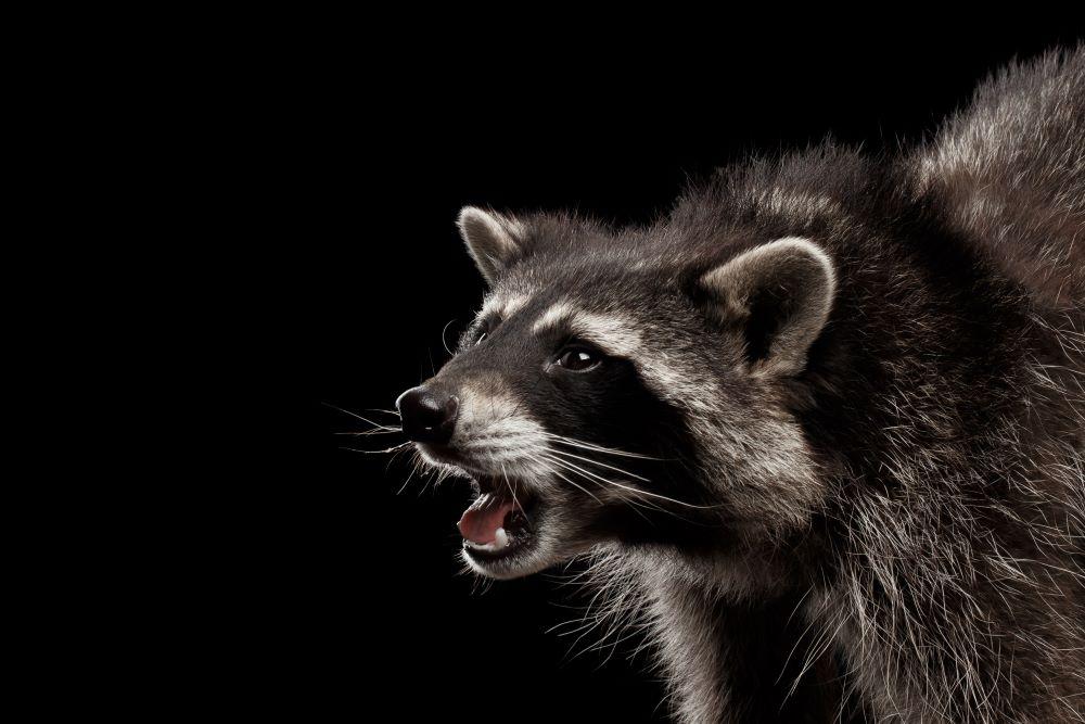 comment-se-proteger-de-la-rage-du-raton-laveur