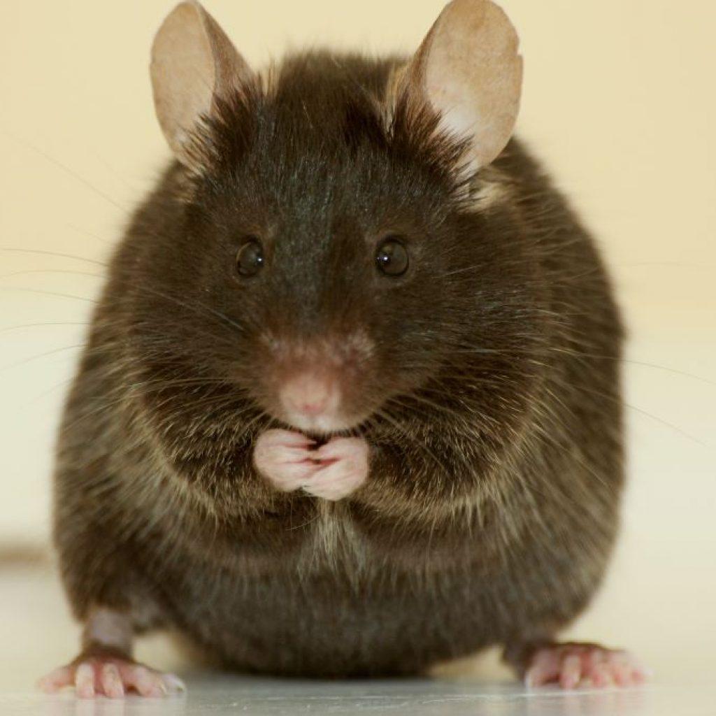 comment-reconnaitre-une-souris